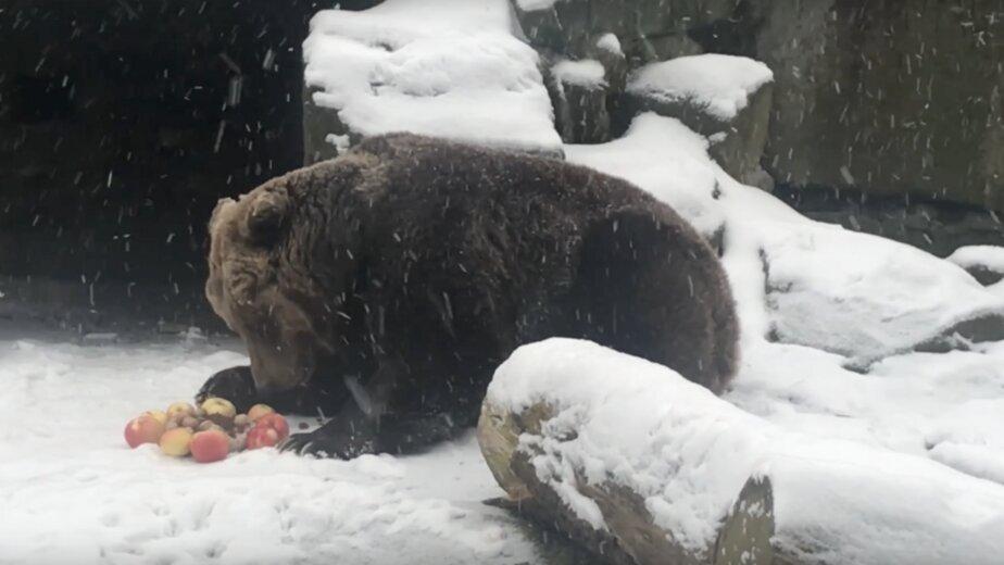 В Калининградском зоопарке бурая медведица отметила четвертьвековой юбилей (видео) - Новости Калининграда   Изображение: кадр из видео