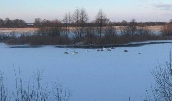 Под Черняховском для зимующих лебедей установили домики   - Новости Калининграда | Фото: пресс-служба областной прокуратуры