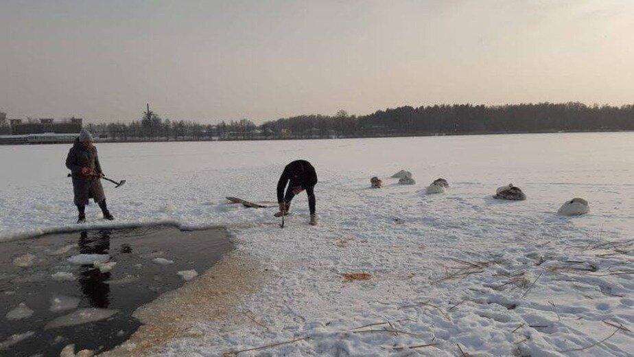 В Прибрежном спасли покрывшегося льдом лебедя (видео) - Новости Калининграда | Фото очевидца