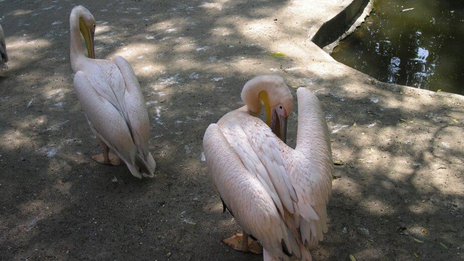 Из Калининграда в зоопарк Питера отправят двух розовых пеликанов - Новости Калининграда | Фото: Павел Будников