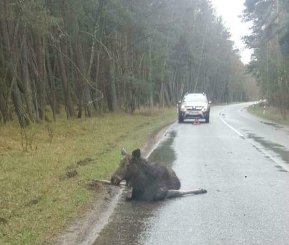 На Куршской косе насмерть сбили молодого лося (фото) - Новости Калининграда | Пресс-служба нацпарка