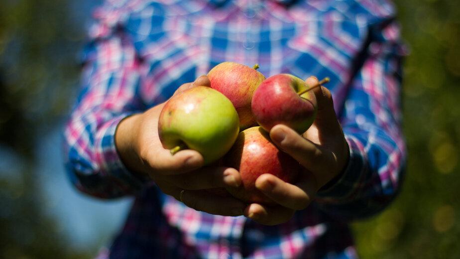 Диетолог рассказала, кому нельзя есть яблоки - Новости Калининграда   Фото: архив «Клопс»