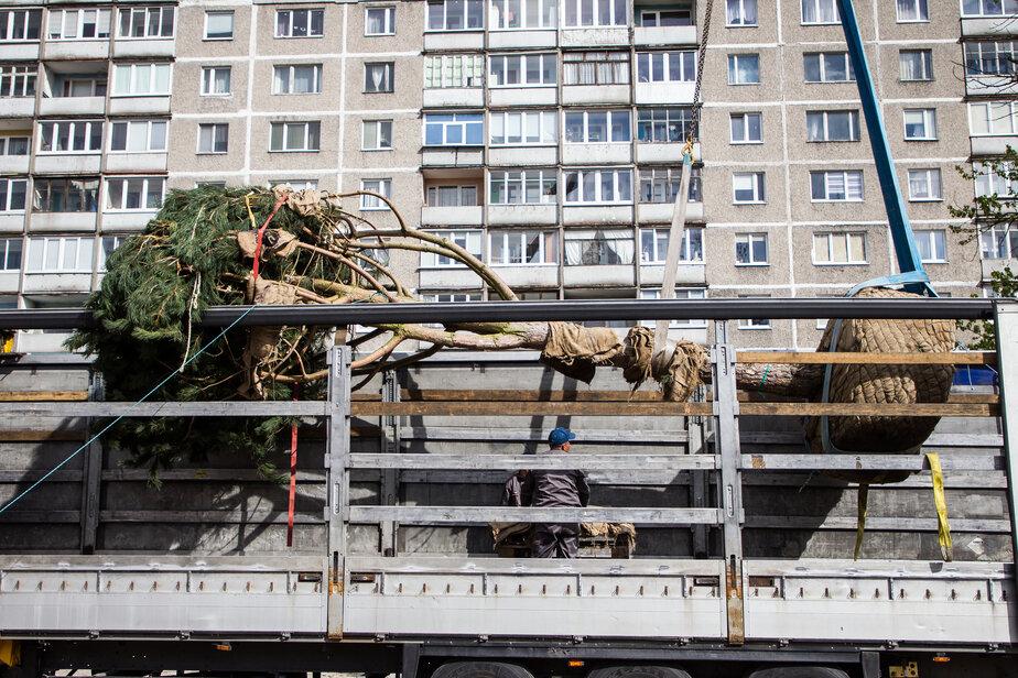 Власти собираются выделить деньги на покупку машины для пересадки взрослых деревьев в Калининграде - Новости Калининграда   Фото: Архив «Клопс»