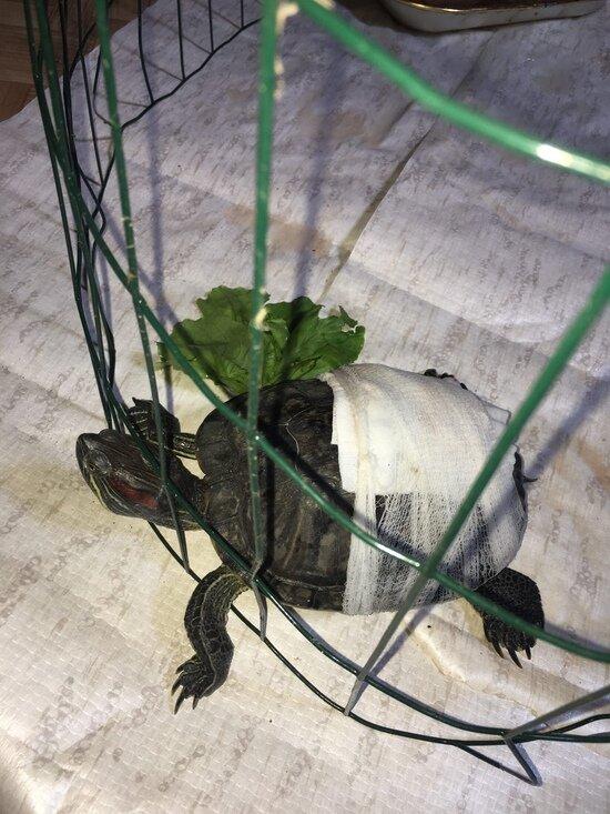 Ползала вдоль дороги в пыли: в центре Советска нашли черепаху с пробитым панцирем (фото) - Новости Калининграда | Фото предоставила хозяйка черепахи