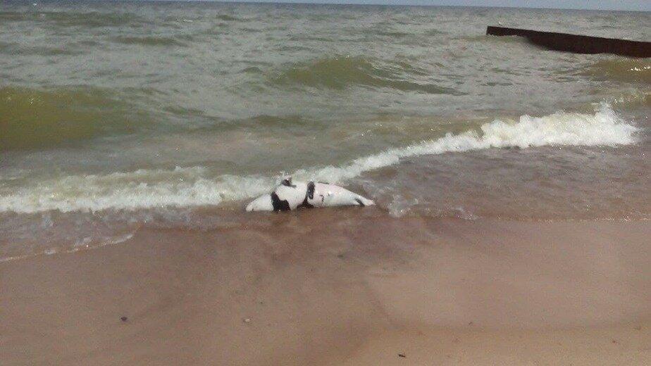 В Зеленоградске на пляж у «Самбии» выбросило мёртвого тюленя - Новости Калининграда | Фото очевидцев